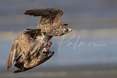 Young Peregrine with a gull 0678
