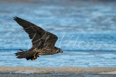 Peregrine with shorebird
