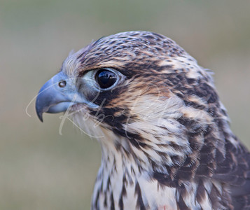 Portrait of an immature Tundra Peregrine.