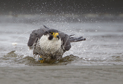 Peregrine Falcon taking a bath in a stream