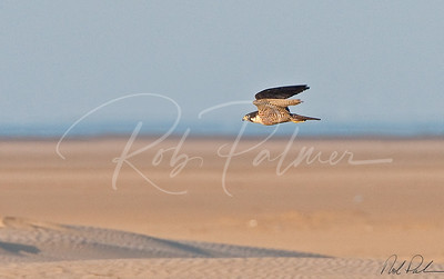 Peregrine on the Beach