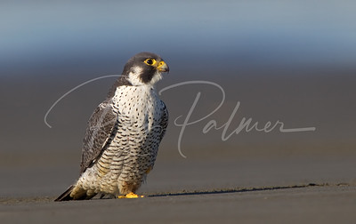 Peregrine on the Beach 0023