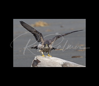 Peregrine Falcon stretching 9512