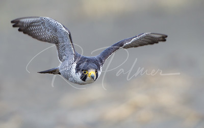 Male Peregrine Falcon