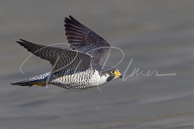 Adult Peale's Peregrine on the Washington Coast 0160