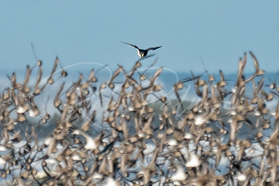 Peregrine attacking shorebirds