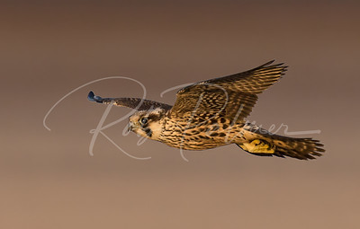 A Male Tundra Peregrine Falcon on the beach at South Padre Island