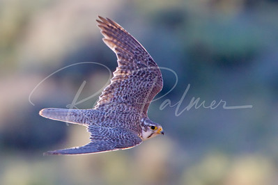Prairie Falcon, top side view  3810