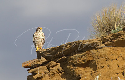 Prairie Falcon on Cliff 8871