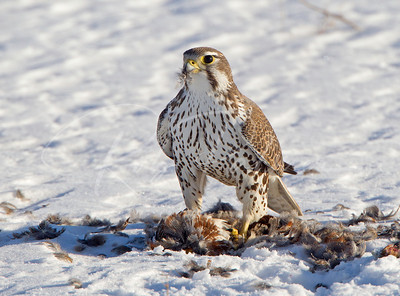 Wild Prairie Falcon on partridge.