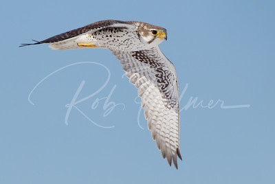 Adult Prairie Falcon