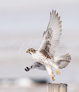 Prairie Falcon taking off
