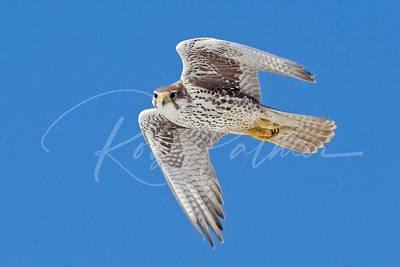Prairie Falcon taking a look.