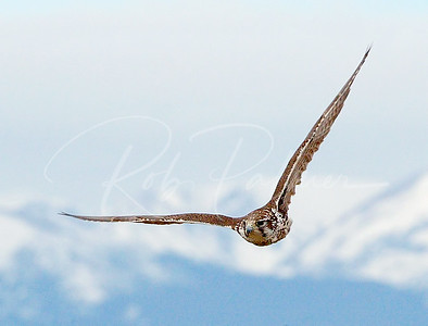 Prairie Falcon over the Rockies
