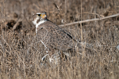 Prairie Falcon in the grass on a kill
