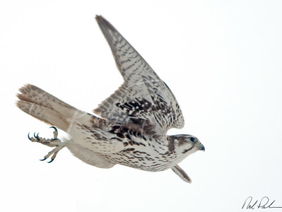 Immature Prairie Falcon  62032-Edit