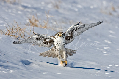Prairie Falcon with prey