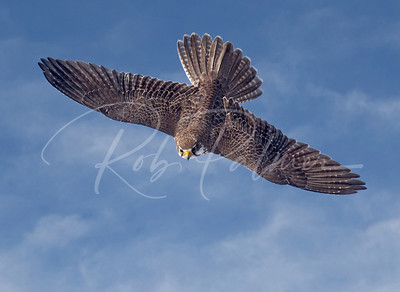 Prairie Falcon diving