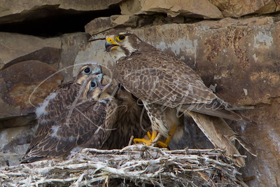 Parent Prairie Falcon feeding her chicks 4397