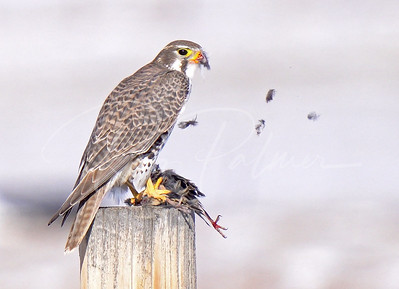 Prairie Falcon with a meadowlark