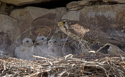 Prairie Falcon with 4 chicks 9296