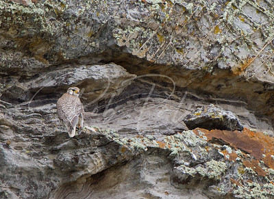 Prairie Falcon on Cliff 8007