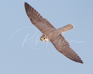 Topside view of a Prairie Falcon