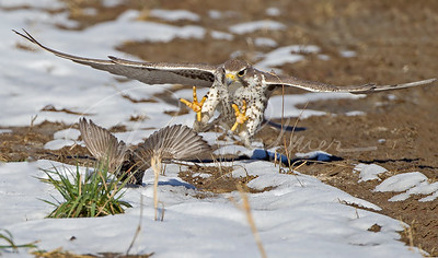 Prairie falcon attacking a starling.