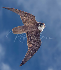 Prairie Falcon taking a look