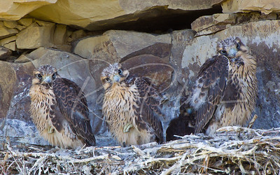 Three Young Prairie Falcons 4172