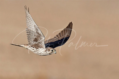 Male Prairie Falcon in pursuit