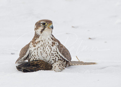 Prairie Falcon with a blackbird