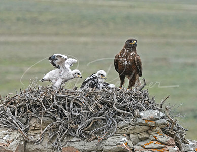 Ferruginous Hawk and young