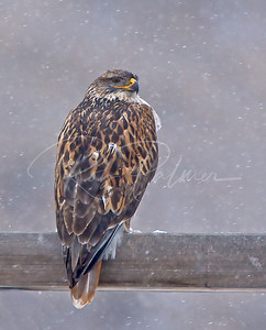 Ferruginous Hawk in the Snow
