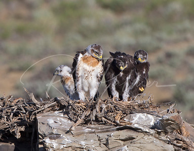 Ferruginous Hawk eyasses on nest