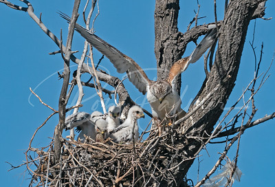 Ferruginous Hawk and nestlings