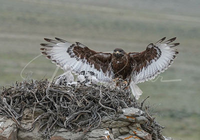 Ferruginous Hawk landing on a nest
