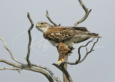 Adult Ferruginous Hawk