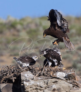 Ferruginous Hawk landing on nest with prey