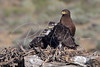 Dark Morph Ferruginous Hawk and young