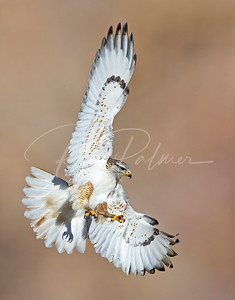 Young Ferruginous Hawk 2502