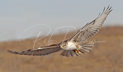 Ferruginous Hawk 0827