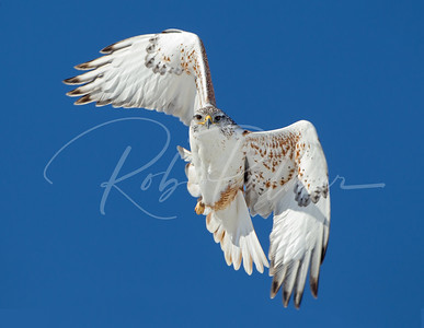 Ferruginous Hawk taking a look.