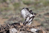 Young Ferruginous Hawk practicing