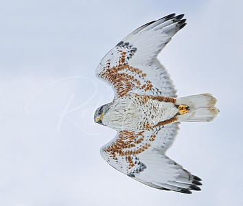 Ferruginous Hawk Fly-by