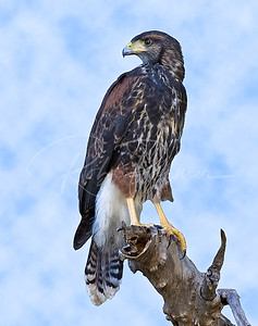 Immature Harris's Hawk