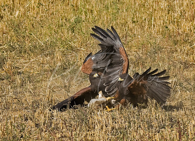 Harris's Hawks with rabbit