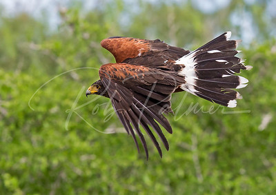 Harris's Hawk in pursuit