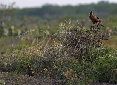Wild Harris Hawks in southern Texas