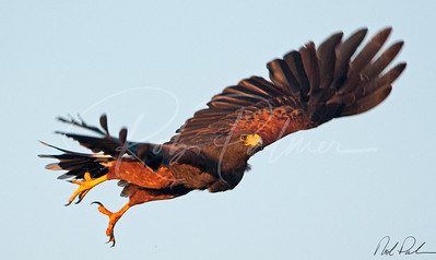 Harris's Hawk Takeoff